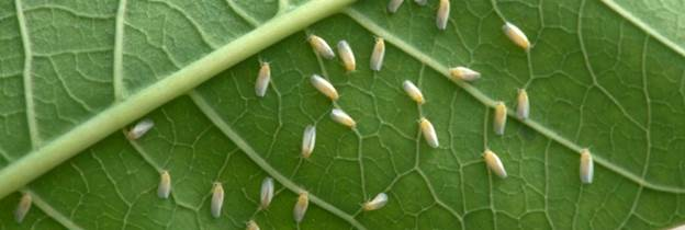 Major new programme launched to combat cassava whitefly