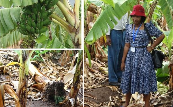 Tanzania's banana parasite problem: Promising research from Dr Nessie Luambano's team